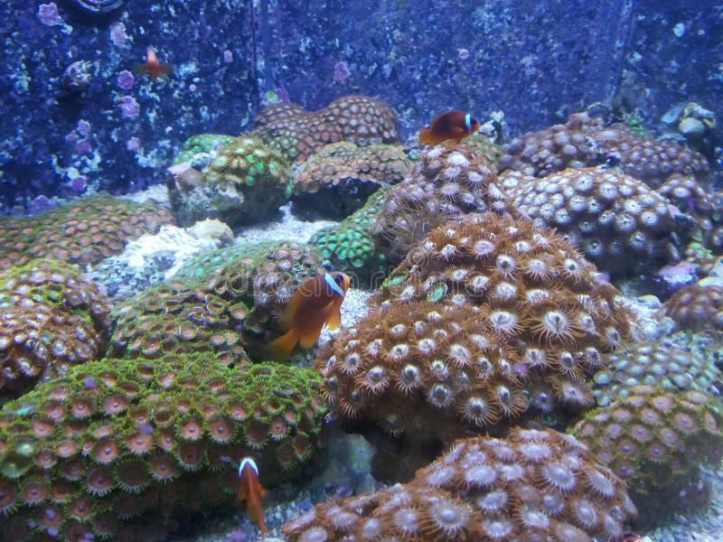 Błazenu anemon i ryba obrazy stock