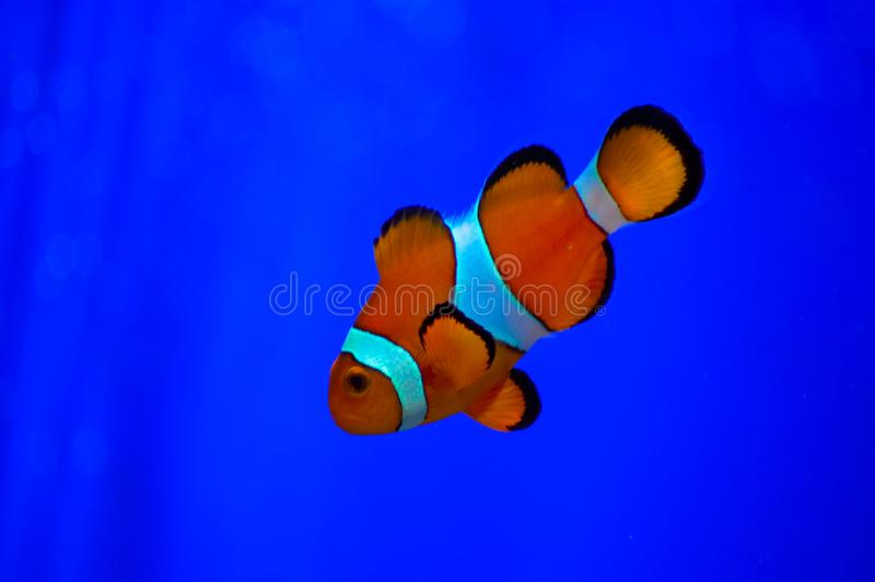 Błazenu Euston zoo Rybi Londyński akwarium zdjęcie royalty free