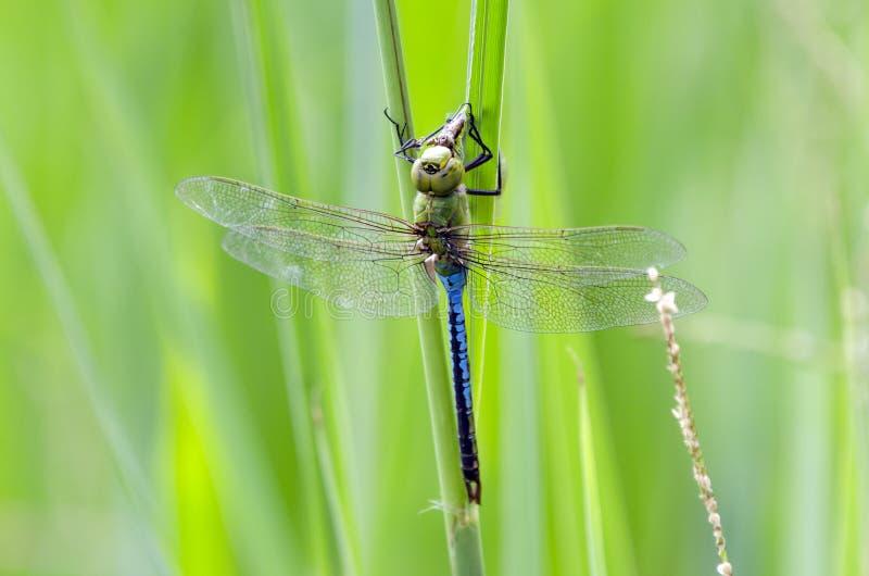 Błonie cerowaczki Zielony Dragonfly, Gruzja, usa fotografia royalty free