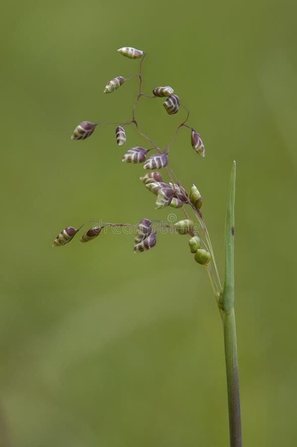 Błonie Trząść trawy - Briza środki zdjęcia royalty free