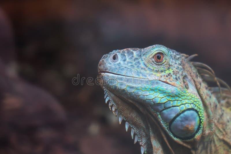 błonie zielona iguana obraz royalty free