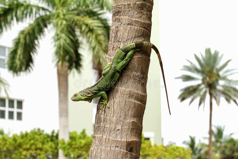 błonie zielona iguana obrazy royalty free