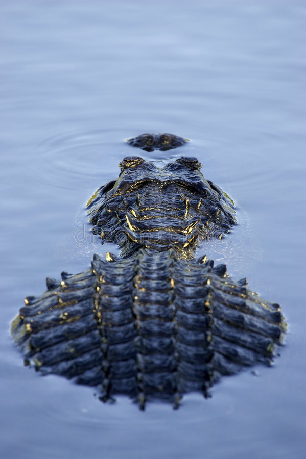 błot aligatorów Florydy parku narodowego stan częściowo zanurzał usa fotografia royalty free