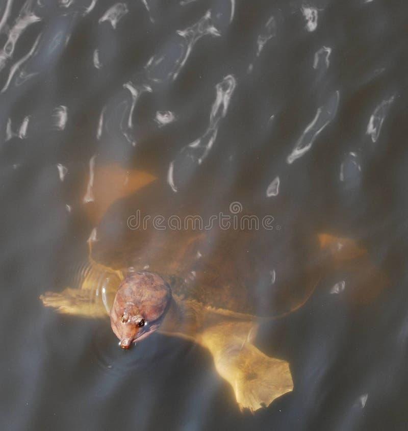 błota Florydy skorupy żółwia miękka zdjęcia stock