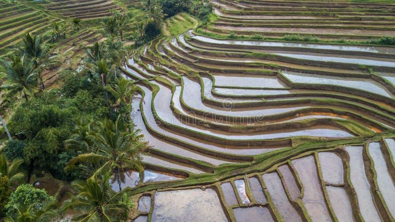 Błotniści ryż pola, tarasy i zdjęcie stock