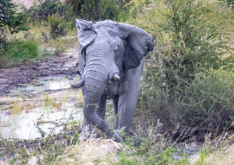 Błoto zakrywał Afrykańskiego słonia trząść swój głowę przy waterhole w Nxai niecki parku narodowym w Botswana zdjęcia royalty free