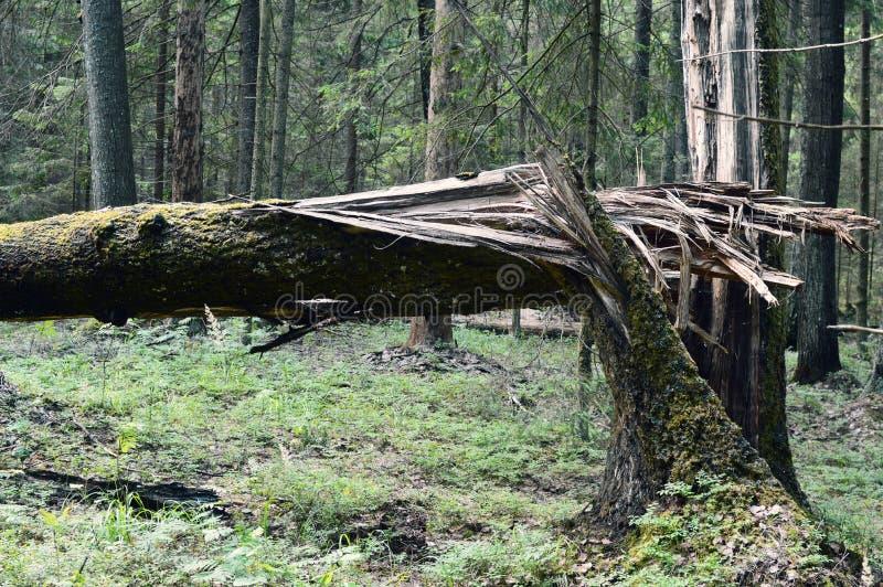 Błyskawica uderzająca w drzewie obrazy stock