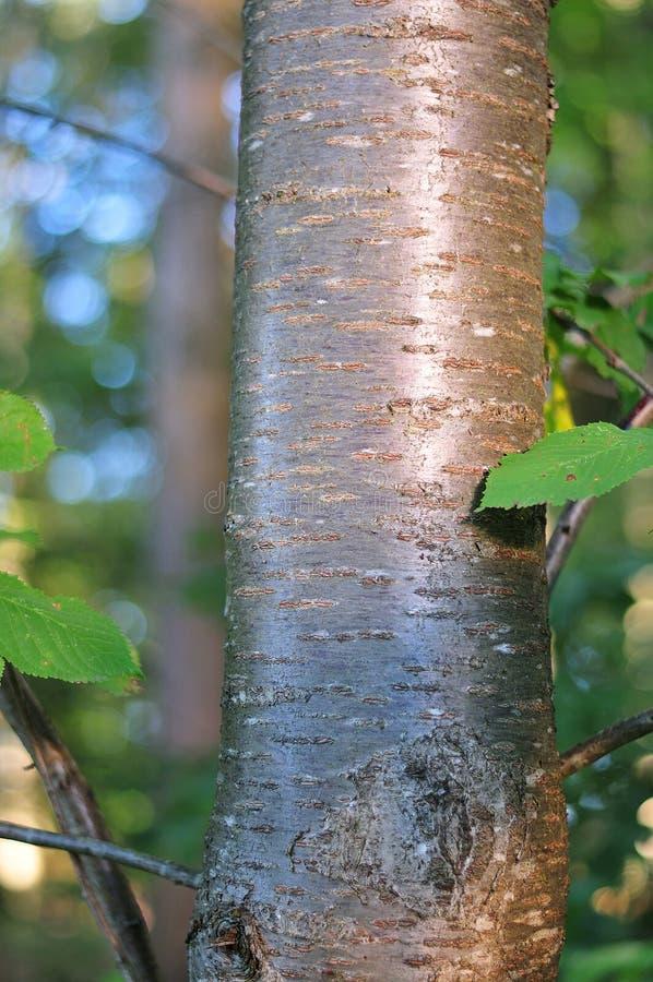 Błyszcząca barkentyna czereśniowy drzewo zdjęcia royalty free