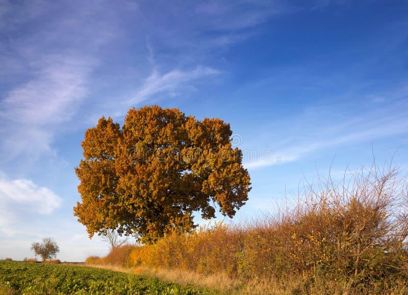 błyszczący drzewo hedgerow jesieni zdjęcia royalty free