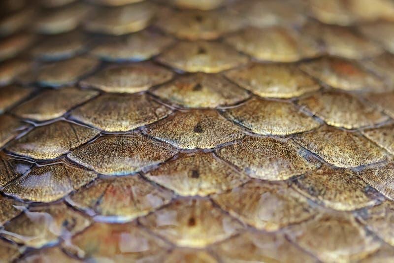 błyszczący waży złoto rybich karpiowych shimmers zakrywających w szlamowym obraz royalty free