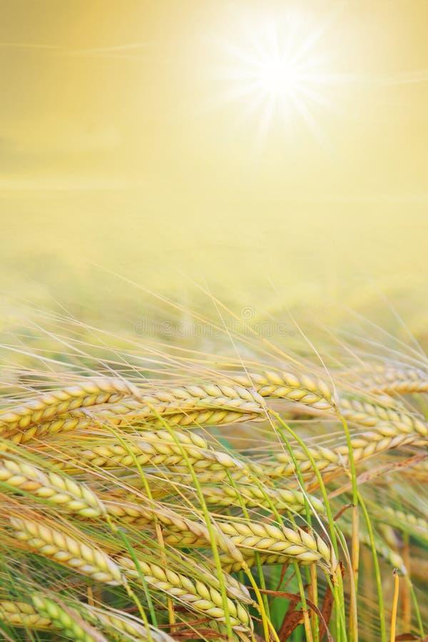 Błyszczący zbiera pole z jaskrawym słońcem fotografia stock