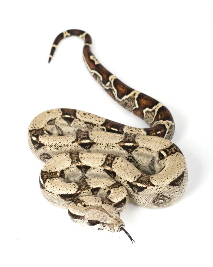 b蟒蛇c被盯梢的缩窄器红色 库存图片