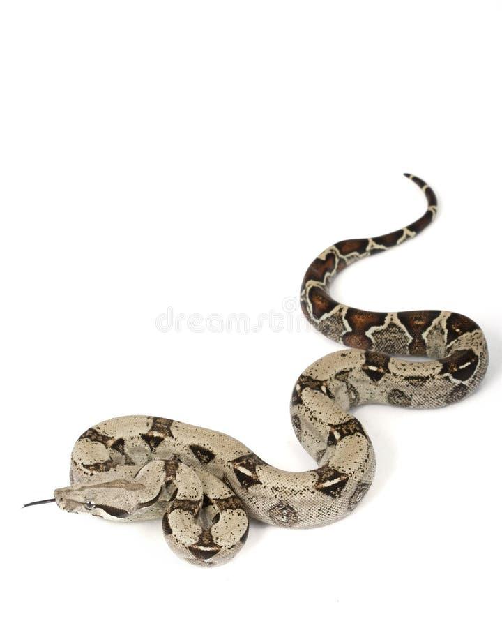 b蟒蛇c被盯梢的缩窄器红色 库存照片