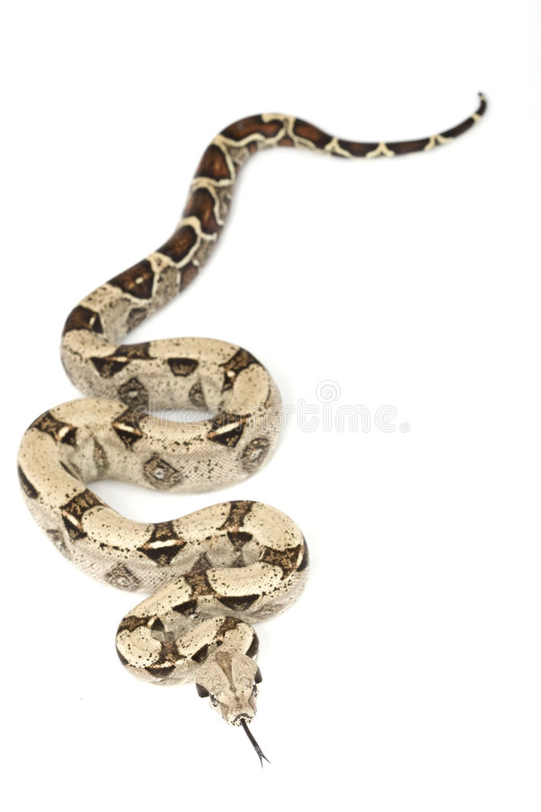 b蟒蛇c被盯梢的缩窄器红色 免版税库存照片