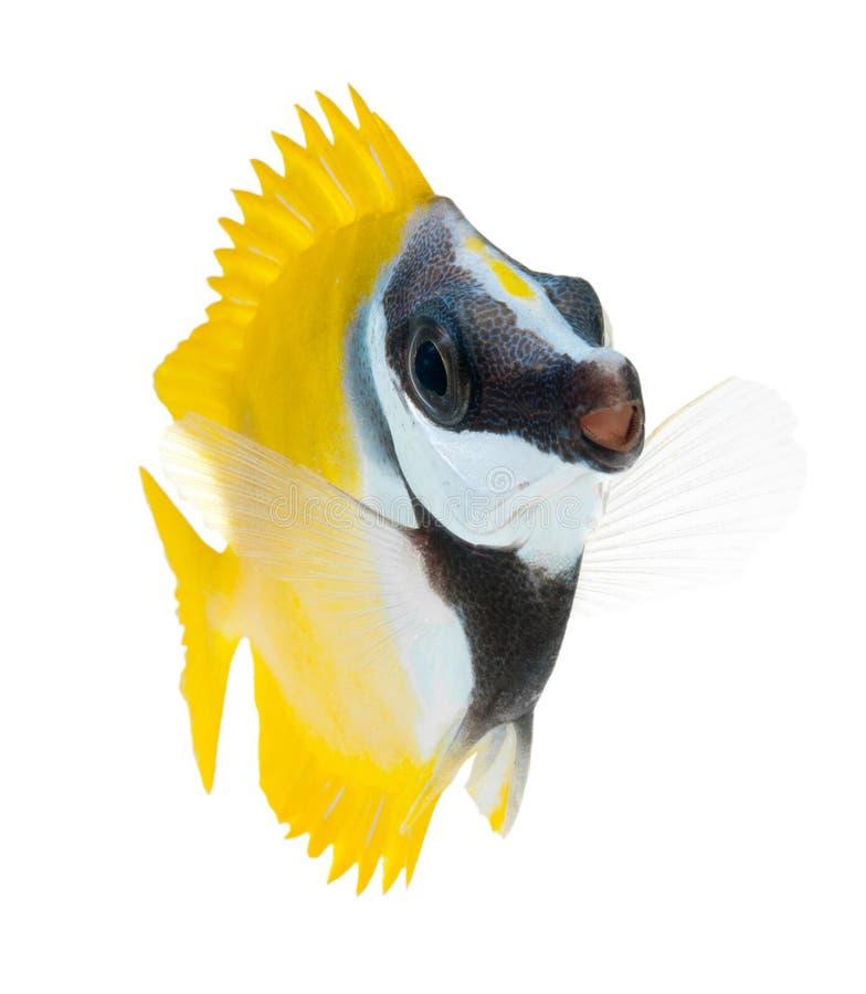 b łowi foxface odizolowywającego rafowego tabbitfish biel zdjęcia stock