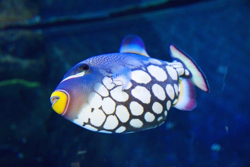 Download Błazenu cyngla ryba zdjęcie stock. Obraz złożonej z błazen - 53777404