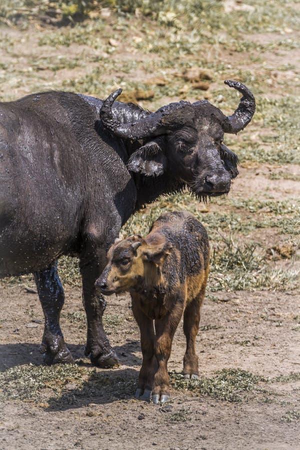 B?falo africano en el parque nacional de Kruger, Sur?frica foto de archivo libre de regalías