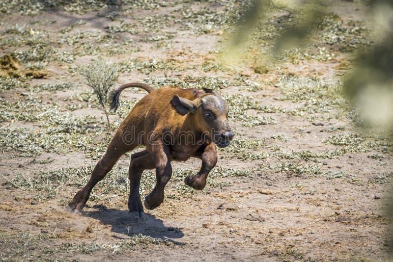 B?falo africano en el parque nacional de Kruger, Sur?frica imagen de archivo libre de regalías