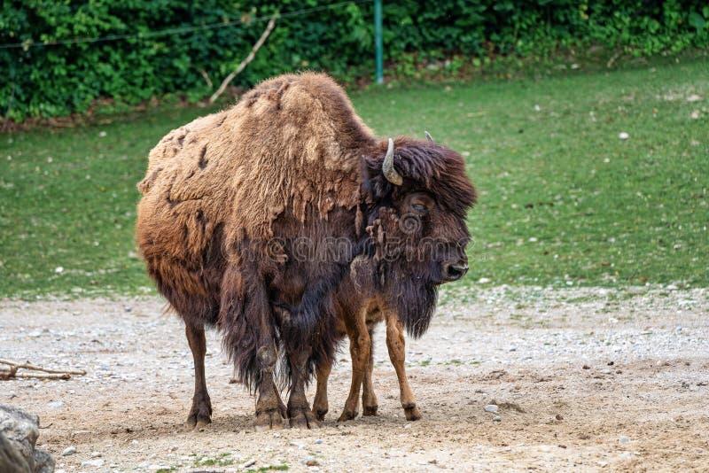 B?falo americano conocido como bisonte, bisonte del Bos en el parque zool?gico fotografía de archivo