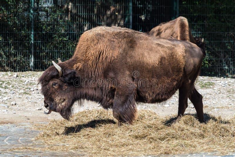 B?falo americano conocido como bisonte, bisonte del Bos en el parque zool?gico imagen de archivo