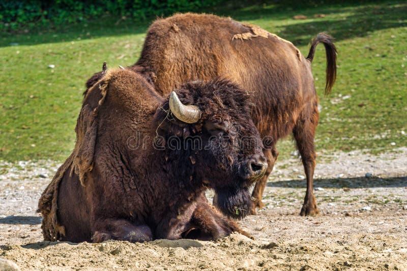 B?falo americano conocido como bisonte, bisonte del Bos en el parque zool?gico foto de archivo