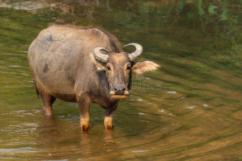 B?falo de agua tailand?s que descansa en un arroyo durante verano fotografía de archivo libre de regalías