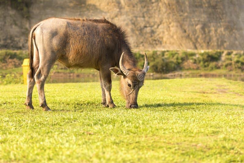 B?falo que come a grama no campo Pokhara Nepal imagem de stock