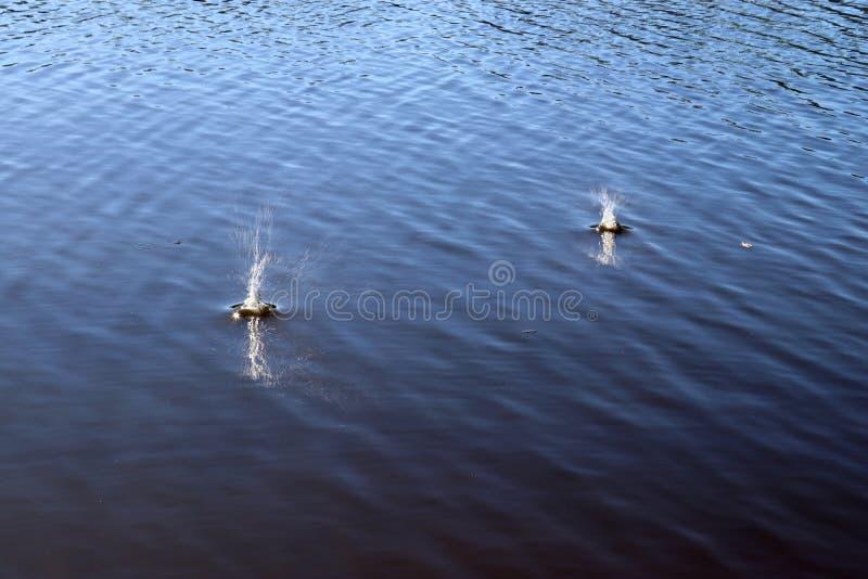 B??kitna jezioro wody powierzchnia z czochrami i che?botanie rzecz? spada w je podczas gdy odbijaj?cy ?wiat?o s?oneczne zdjęcia stock
