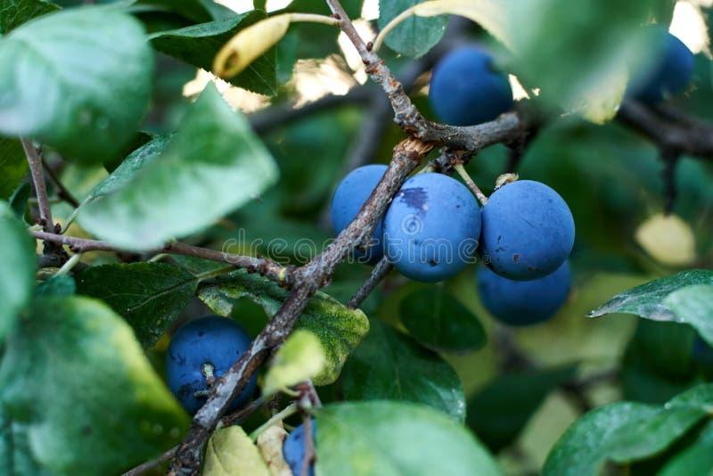 B??kitne ?liwki na drzewie Zdrowy lata jedzenie rolnik Żniwo wiejski obraz royalty free