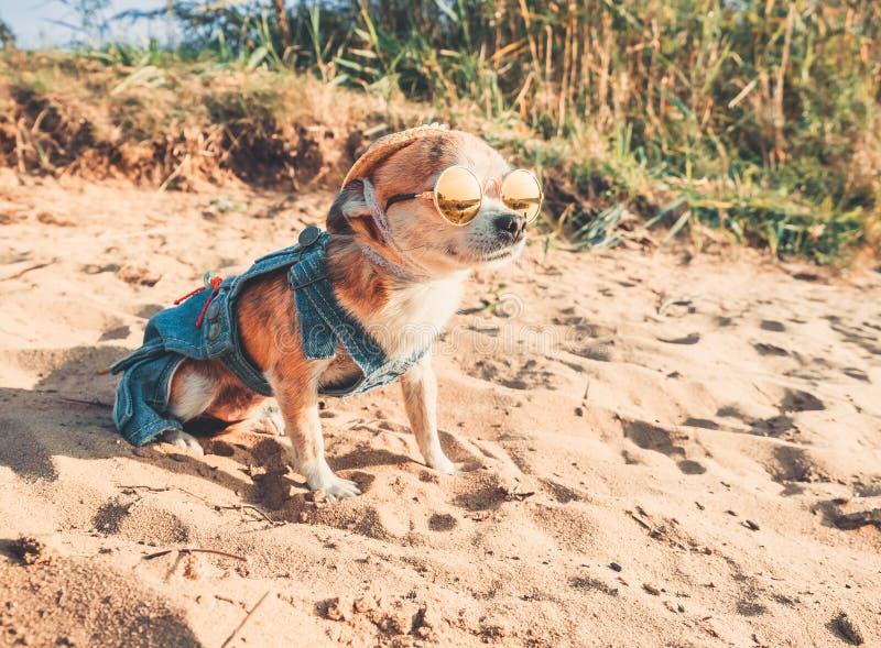 B?rande solglas?gon- och f?r sugr?rhatt l?gner f?r Chihuahua p? en strand av floden som tycker om solen Trendig hund ikl?tt a arkivfoton