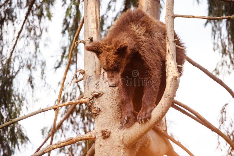 B?renjunges auf dem Baum lizenzfreies stockfoto