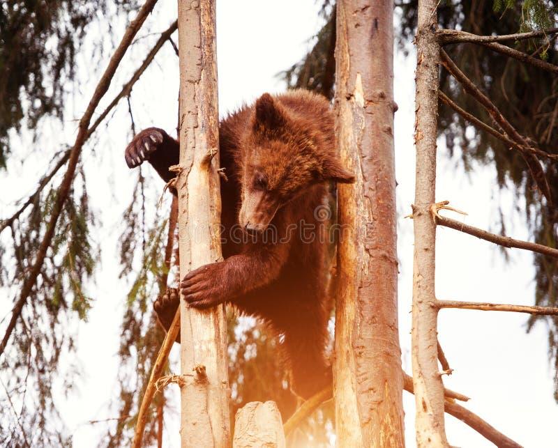 B?renjunges auf dem Baum stockfotografie
