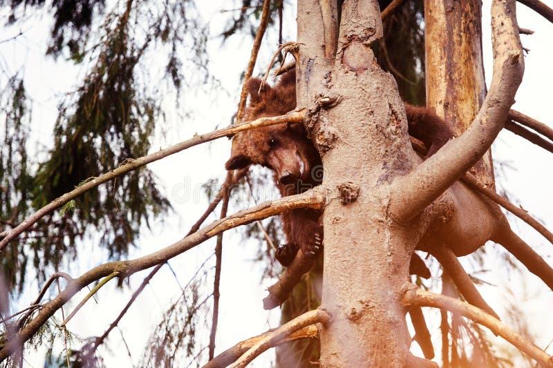B?renjunges auf dem Baum lizenzfreie stockfotografie