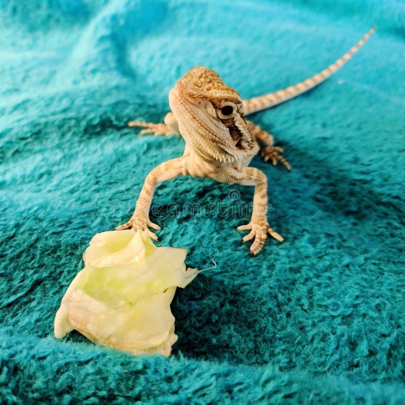 B?rtiger Drache, der Kopfsalat isst lizenzfreies stockbild