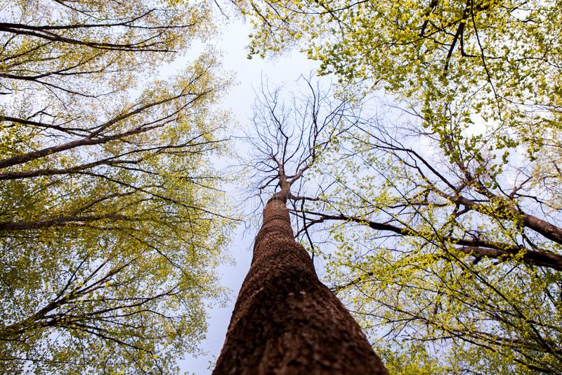 B?ume des Waldes Gr?ne h?lzerne Sonnenlichthintergr?nde der Natur Ansicht von unten von hohen alten B?umen Oberseite der B?ume stockbild