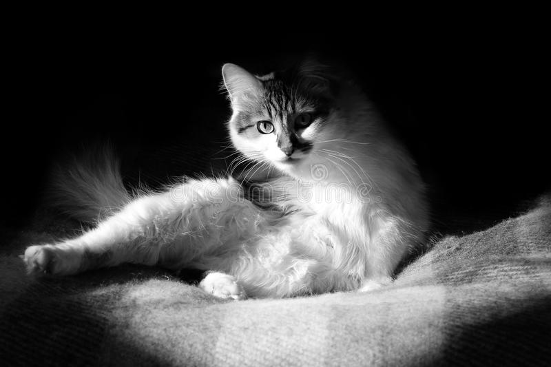 B&W γάτα στοκ φωτογραφίες με δικαίωμα ελεύθερης χρήσης