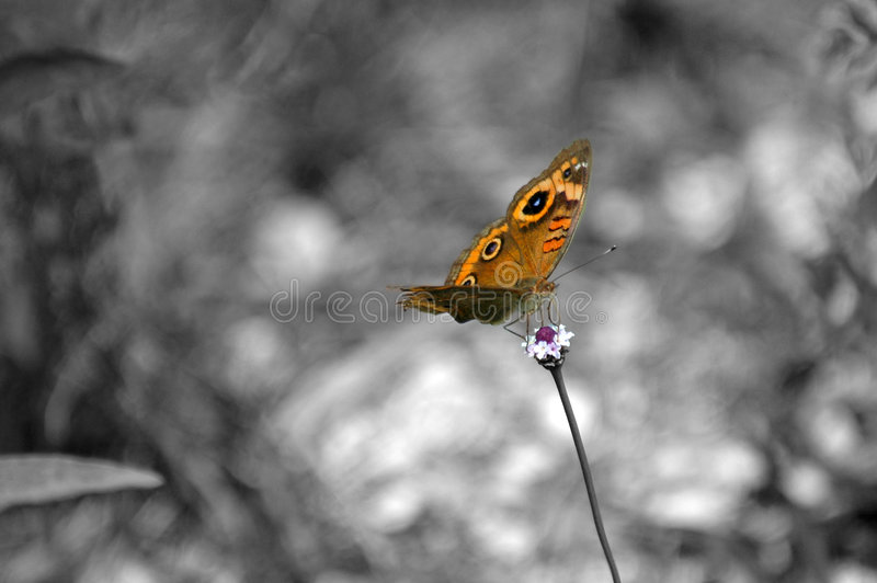 B & W butterfly isolation royalty free stock image