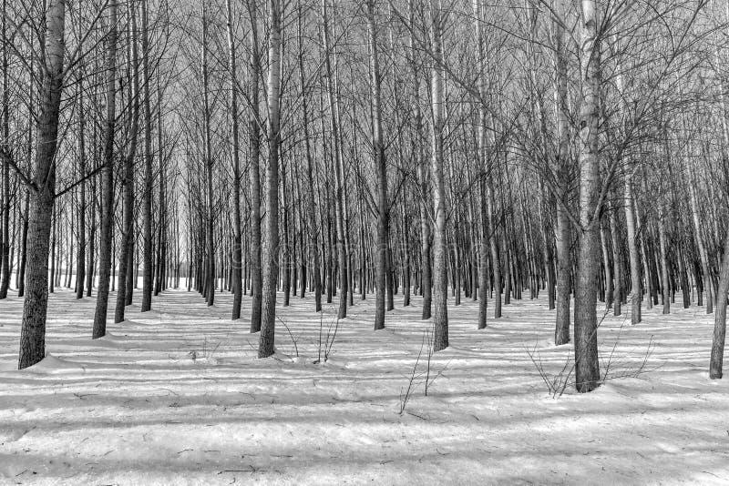 B&W delle file degli alberi nell'inverno fotografia stock libera da diritti
