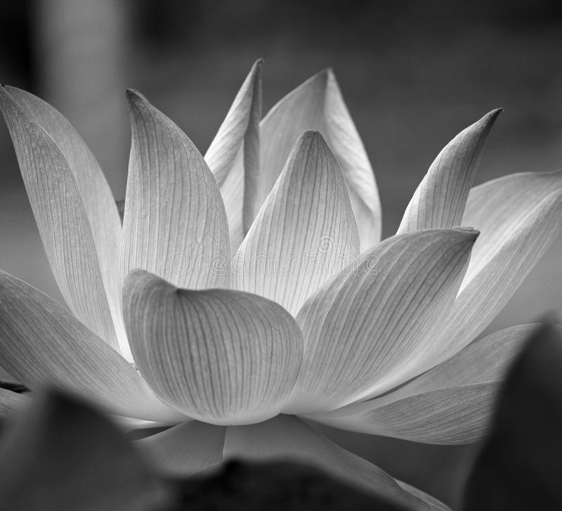 Download bw lotus flower blossom stock photo image of nature 88634012