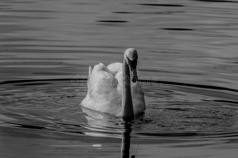 B&W Mute Swan. The mute swan is a very large white waterbird. It has a long S-shaped neck, and an orange bill with black at the base of it. Flies with its neck stock photo