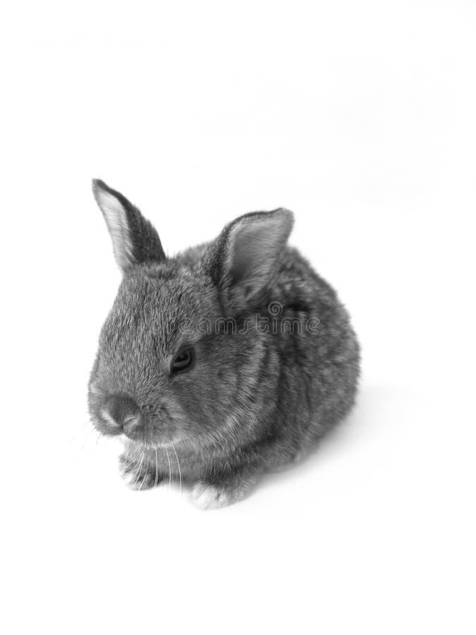 B&W rabbit royalty free stock photo
