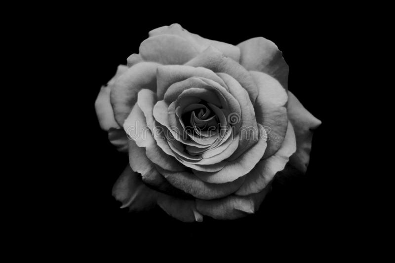 B&W rose royalty free stock images