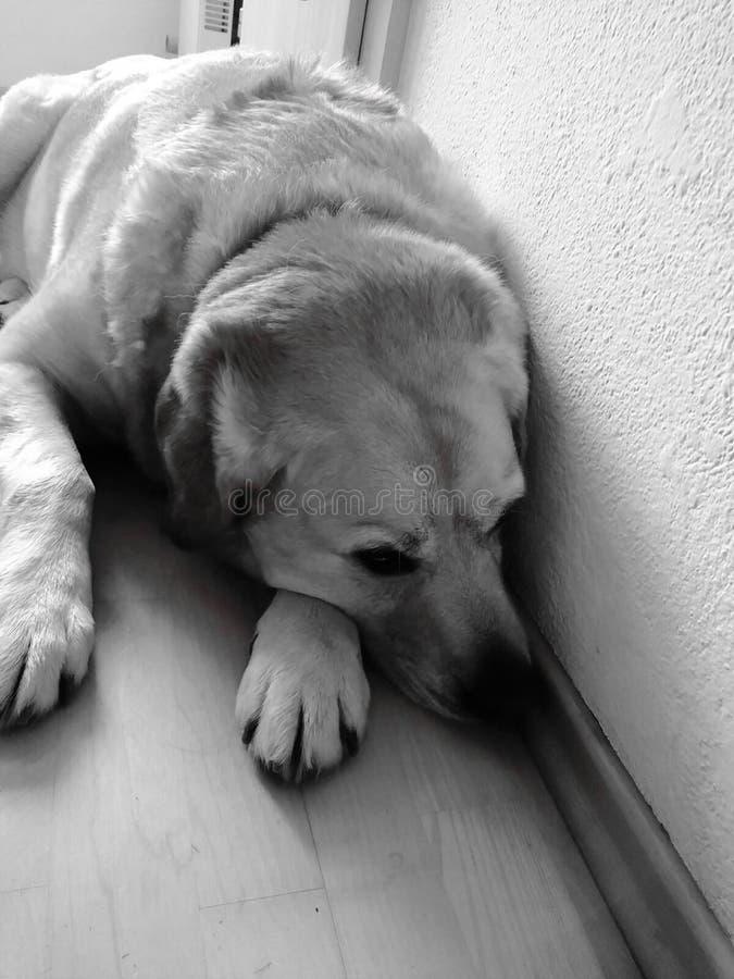 B&w triste del cane a casa fotografia stock