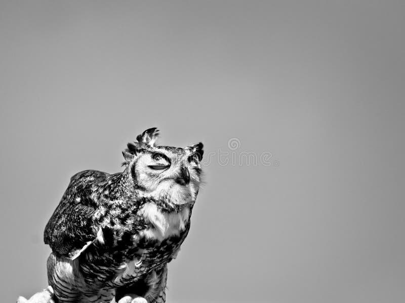 In B&WOwl mit den Augen geschlossen in B&W stockfotografie