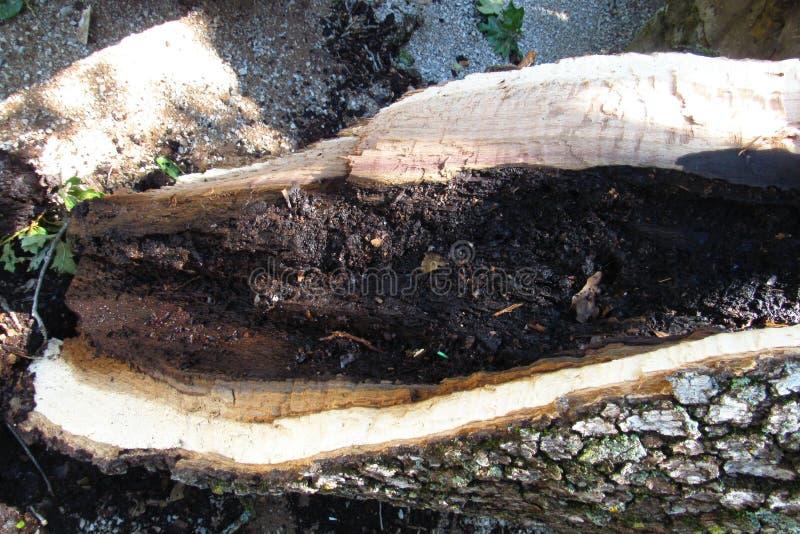 b?yskawicowy bombardowany drzewo fotografia stock