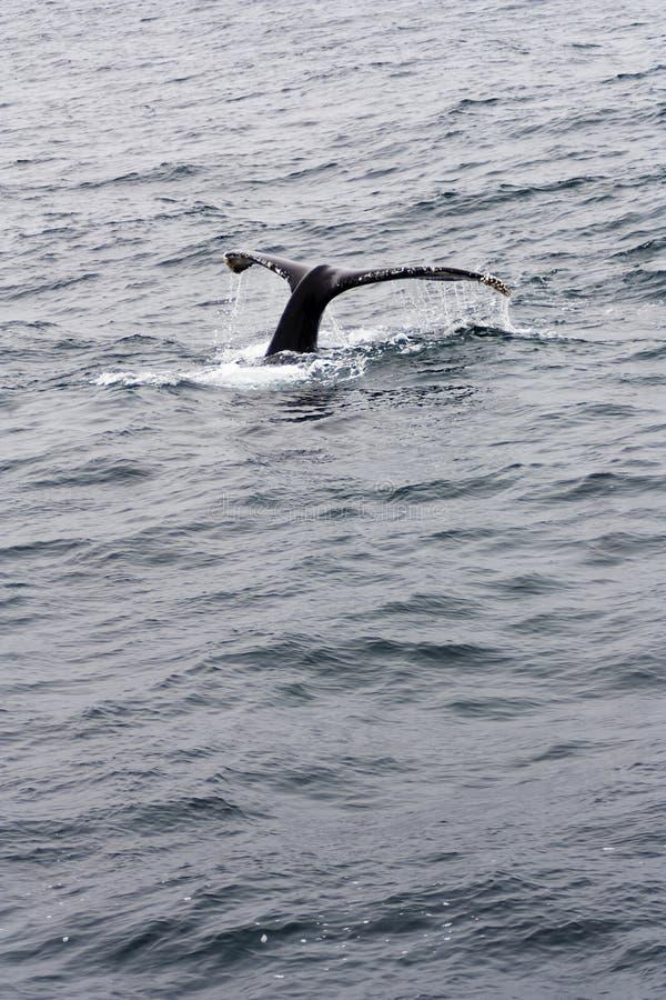 Baía Califórnia de Monterey dos solhas da baleia de corcunda imagens de stock