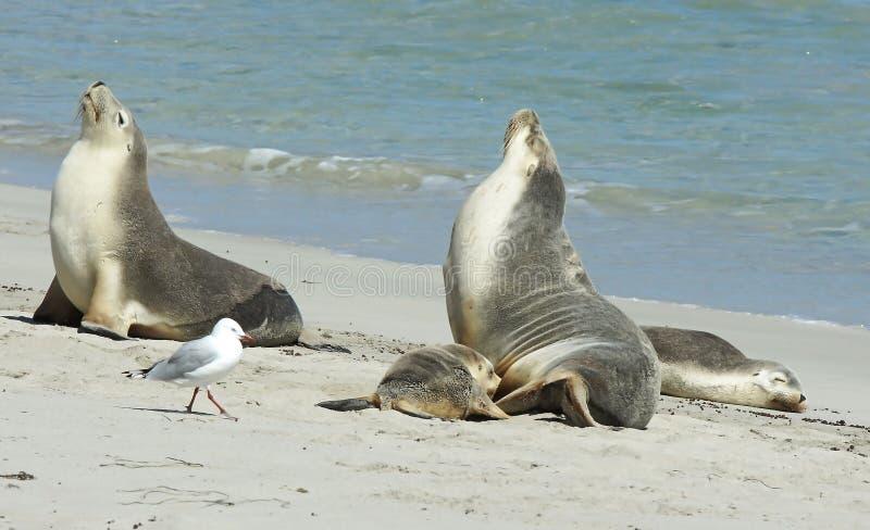 Baía do selo, ilha do canguru, Sul da Austrália foto de stock