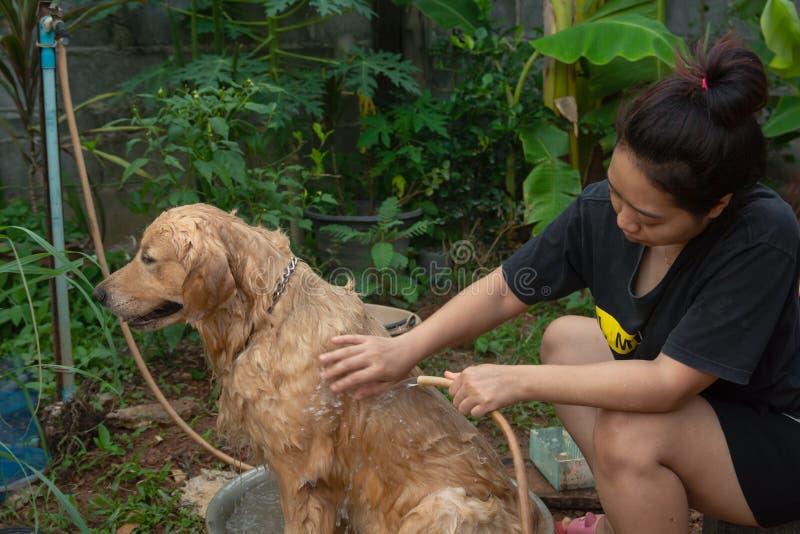 Bañando el perro, una mujer se está bañando para su golden retriever del perro fotografía de archivo