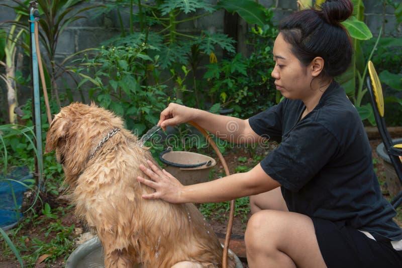 Bañando el perro, una mujer se está bañando para su golden retriever del perro fotos de archivo
