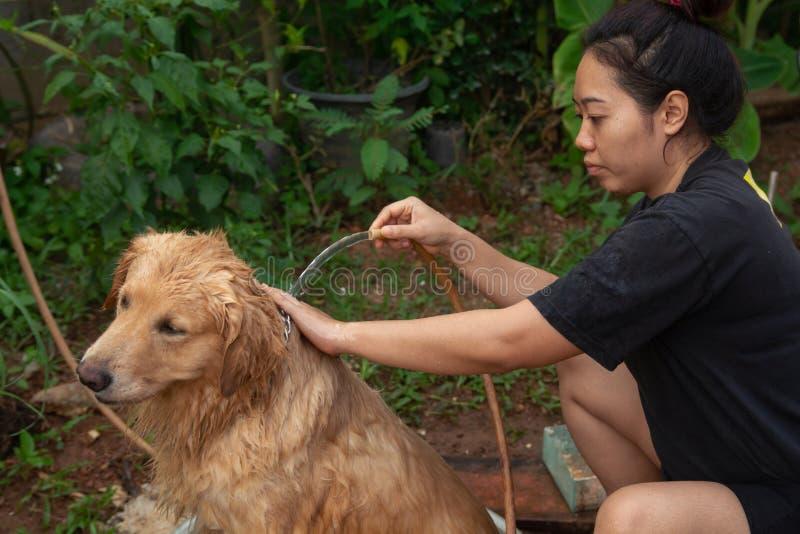 Bañando el perro, una mujer se está bañando para su golden retriever del perro imagen de archivo